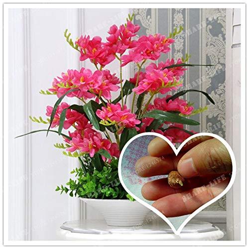 SANHOC Red Freesie Hybrida Zwiebeln Topfblumentopfpflanze Roots (es ist Bonsai) -Flower Birnen, Innen Pflanze, Natürliches Wachstum 2ST