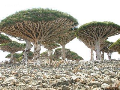 Livraison gratuite 10 Pcs rares Dracaena arbre alpiste Tree Island Sang (Dracaena draco) voyantes, Jardin des plantes exotiques 16 Diy