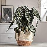 Pflanzen Kölle Pfeilblatt 'Alocasia Polly', Blattschmuckpflanze, Topf 17 cm, Höhe ca. 60 cm