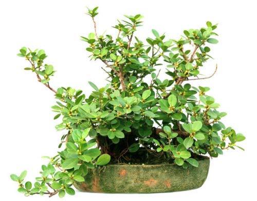 Ficus hispida Rare Figuier Graines tropicales des plantes ornementales Bonsai ou Standard (10 graines) Aucun suivi