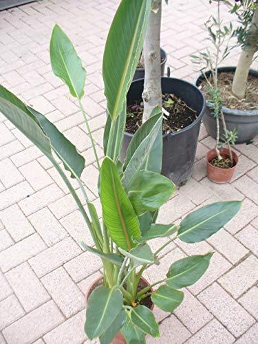 Paradiesvogelblume, Strelitziengewächs, Strelitzia reginae im Topf 65-80 cm, strelizie Pflanze