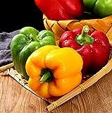 50pcs Semillas De Pimiento Verduras Frescas Cultivo Adaptable Esencial No Transgénico Heirloom Vegetal Crecimiento Natural En El Jardín Fácil De Manejar