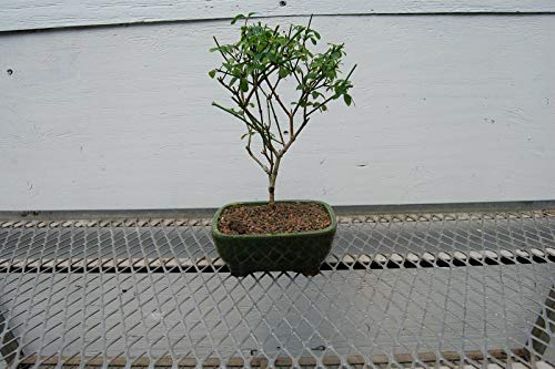 Live Plant - Flowering Winter Jasmine Bonsai Tree - Tree Plant