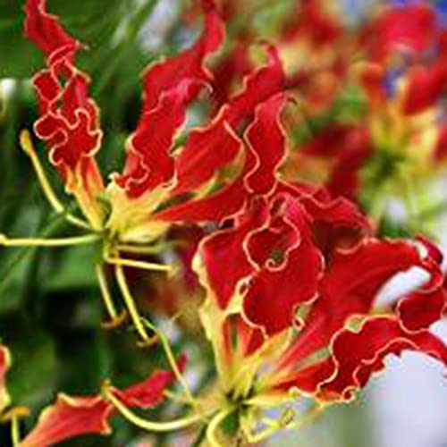 10Pcs/Bag Flame Lily Seeds Gloriosa Garland Ornaments Perennial Office Window Flower Seeds for Balcony Plant Garden Seeds Seeds