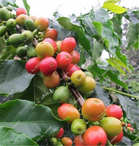 Grains de café rares Graines Green Food fruits bio Graines Légumes rafraîchissants Bonsai plantes Café Pots de fleurs Pots 20 Pcs