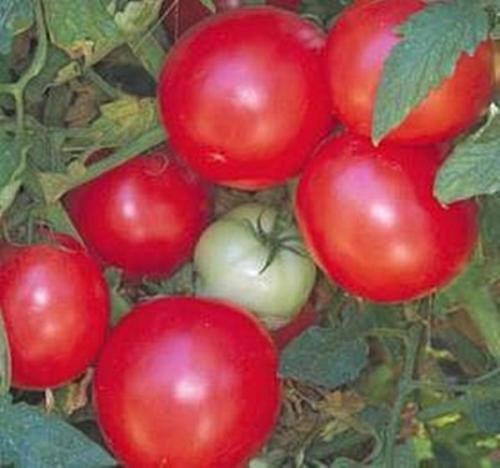 Graines Arkansas Traveler tomate