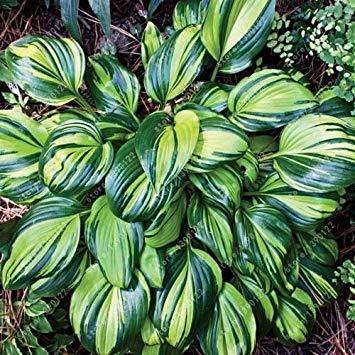 Fash Lady 100 Teile/Beutel hosta Pflanzen samen, mehrjährige Plantain Lilie Blume Bodendecker blumensamen, kostbare hosta samen hausgarten anlage 10