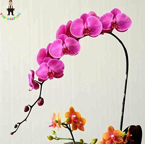 100pcs 20 types d'orchidées Graines vivaces Fleurs Plantes ornementales en pot Bansai Semences pour balcon et cour plante Diy jardin jaune clair