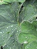 Gelbgrüner Frauenmantel (Alchemilla xanthochlora) 500 Samen Taubecher, Alchemistenkraut, Allerfrauenheil