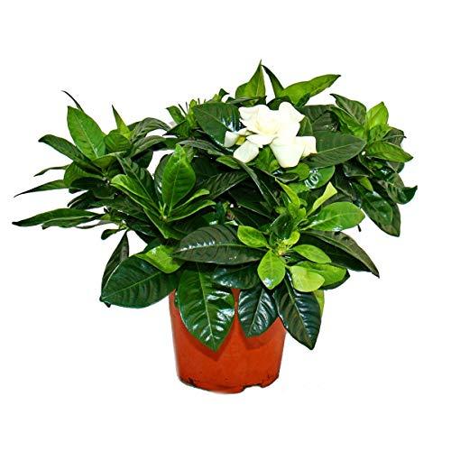 Exotenherz - Gardenie - Duftende Blütenpflanze mit creme-weiß farbenen Blüten, 12cm Topf