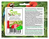Stk - 4x Pimientos de Puntilla, Largo, Rojo Medrano F1 - Semillas Verduras Paprika Jardín KS427 - Seeds Plants Shop Samenbank Pfullingen Patrik Ipsa