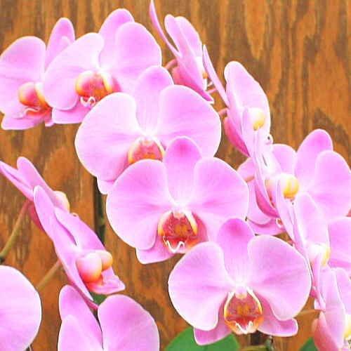 胡蝶蘭ギフト【生花】 ミディピンク 3本立ち 誕生日などのお祝いに