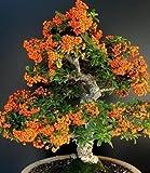piante da seme bonsai in vaso di olivello spinoso, rhamnoides Semi 30PCS R001
