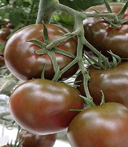 Tomaten Schokoladen Tomate Sacher F1-Hybride Samen