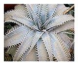 種子パッケージ:Dyckiaのマルニエ - Dyckia - 3 SeedsSEED
