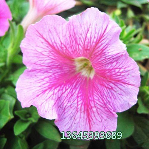 B/H Graines de Plantes,semences Florales,Morning Glory Vine Graines de Fleurs en Pot Trompette Flower-V_20 Capsules