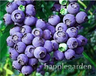 Bloom Green Co. Vente! 100 Pcs/sac bonsaïs aux bleuets comestibles de plantes fruitières Heirloom Bio Nain Blueberry Bonsaï Plante en pot pour jardin: 2