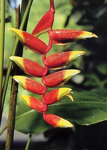 TROPICA - Hängende Schnabel - Heliconie (Heliconia rostrata) - 10 Samen