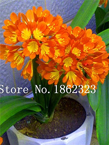 Bloom Green Co. 100 Pcs Clivia graines, semences rares chinois Clivia Couleur de la fleur, jardin bonsaïs Graine Semente de décoration de Noël Cadeau: 17