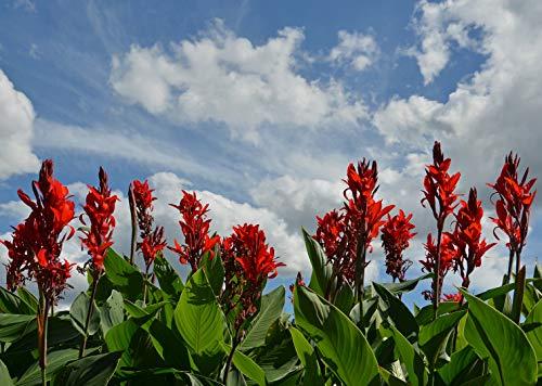 Indisches Blumenrohr - Rot - Canna Indica - 10 Frische Samen