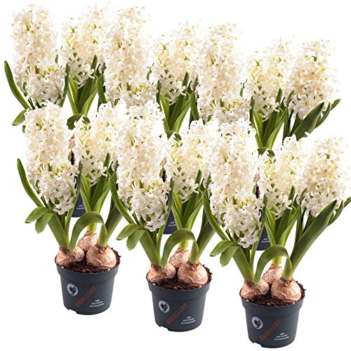 Hyazinthe, 6er-Set, Kölle Hyacinthus orientalis, weiß, vorgetrieben, Topf 12 cm Ø