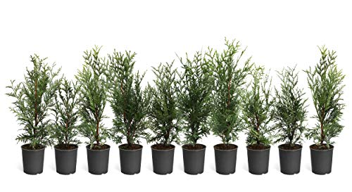 Thuja Green Giant Trees - Large, Tall Evergreen Trees for Instant Privacy! - Oversize Arborvitae Thuja Green Giants | Cannot Ship to AZ (10 Pack (1 Qt.))