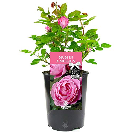 Mum in A Million Rose - Perfect Gift for Mother's Day or to Say Thank You with a Unique Living Plant Gift