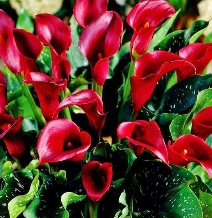 100pcs/lot calla graines de lys graines rares de fleurs pour la plantation de jardin à la maison (pas Calla bulbes de lis), plante en pot bonsaï vivaces 9