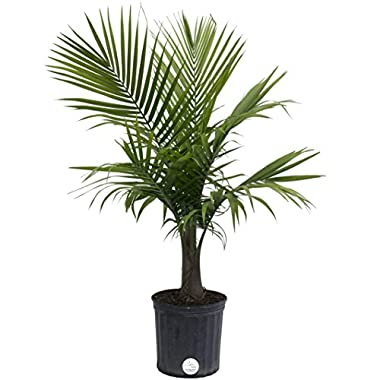 Costa Farms Majesty Palm Live Indoor Floor Plant in 8.75-Inch Grower Pot
