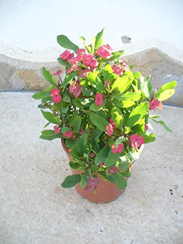 Christusdorn (Euphorbia millii) rot 35-45 cm, ein Pflanze im Topf