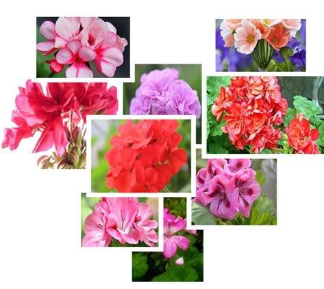 Multi-Colored Géranium graines de fleurs bonsaï fleurs graines de vente Big Hot vente de jardin de la maison DIY