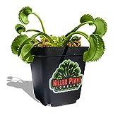 Large Sized Venus Fly Trap - Fastest Shipping - Carnivorous Plant (Dionaea Muscipula) - 3 Inch Plant Pot - Live Venus Fly Trap Plant - The Killer Plant Company