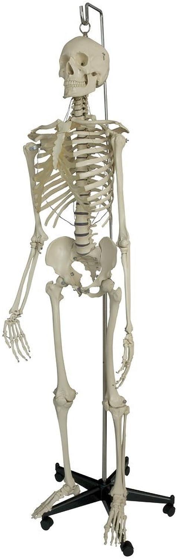 Ruediger Anatomie A201 Hängendes Homo-Skelett Modell Modell Modell mit Aufhänge-Öse, ohne Stativ B01F785J6O | Schönes Design  410174