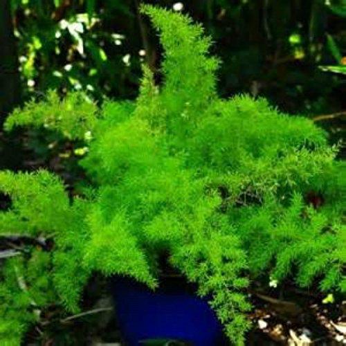 SEMILLAS raro! Esparraguera HERMOSA! Planta de interior perfecto! Fácil de cultivar