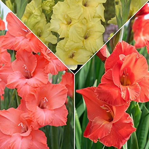 15x Gladiolus