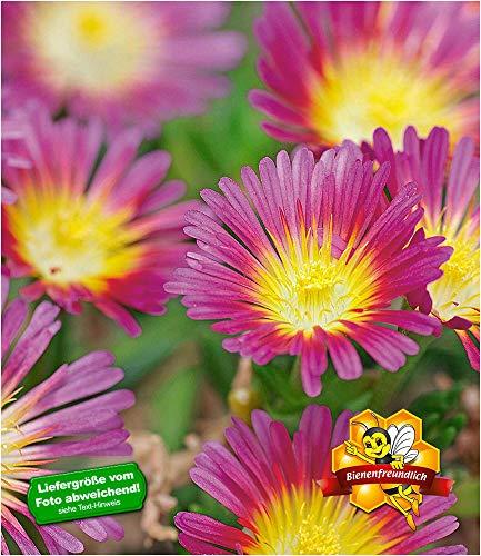 BALDUR-Garten Winterharte Eisblume
