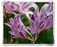 リコリス 球根&今植えるのに適した美しいフクシアの花の球根、驚きの鉢植えの贈り物