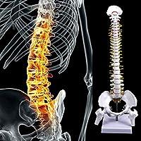 45 cm解剖学的モデル脊椎1:1等身大の骨盤付き解剖学的脊椎、柔軟なモデル、学校向け教材