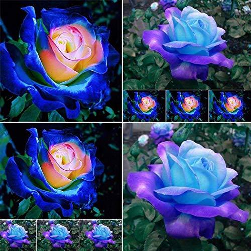 Cioler Hellblau Rose Blumensamen Rose Blumen Samen Regenbogen Rose Bunte Blumen Samen für Ihr Garten Balkon Lange Blütezeit winterhart