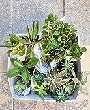 Packs plantas SUCULENTAS, Echeveria, Aeonium, Sedum.