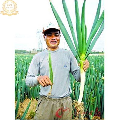 Japonais Seeds Big Green Onion organiques scallion végétales, paquet en vrac, 200 Graines KK173
