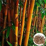 ypypiaol 200Pcs Naranja Semillas De Bambú Jardín De Privacidad Jardín Al Aire Libre Sombra Planta De Agrupación Decoración Del Hogar Semillas de bambú