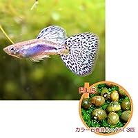 【お買い得セット】 国産グッピー ブルーグラス 1Pr + カラー石巻貝ミックス 3匹のセット 【北海道・九州・沖縄・離島は発送不可】 生体
