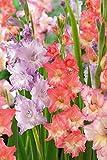Peaches & Cream Gladiolus Bulbs - Mixture,25 Bulbs