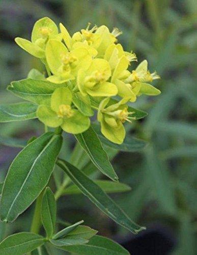 Wasserpflanzen Wolff - Euphorbia palustris - winterhart - Sumpfwolfsmilch, gelb