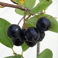 アロニア(チョコベリー): バイキング5号ポット[黒い実がたくさんつくチョコベリー][花木の苗]