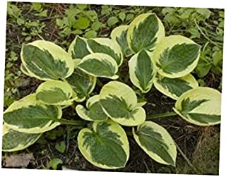 NAW 1 Plant in Quart Pot Brim Cup Hosta - Variegated Plantain Lily Healthy Rooted - RK29