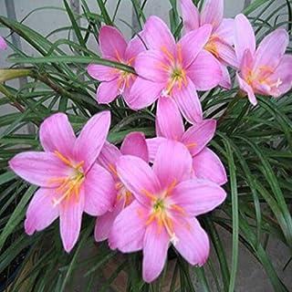 100 semillas / pack del lirio de la lluvia, zephyranthes, cebollas orquídea semillas de especies de flor hermosa para el h...