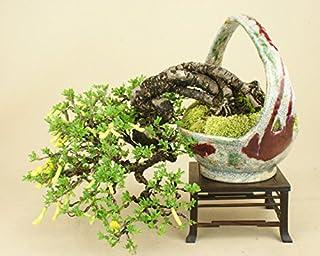 いよじ園 群雀/ムレスズメ 貴風盆栽