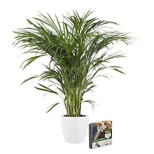 Planta de interior – Palma Areca en maceta blanca + 10 L suelo como un conjunto – Altura: 100 cm